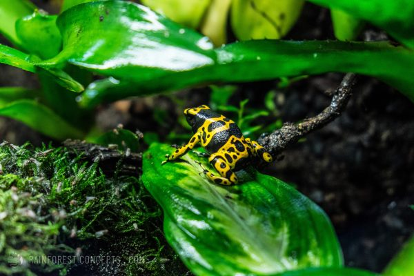 A well-fed fine spot dendrobates leucomelas climbs over a leaf in a vivarium