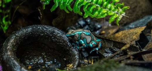 Dendrobates Bronze and Turquoise Auratus Poison Dart Frog