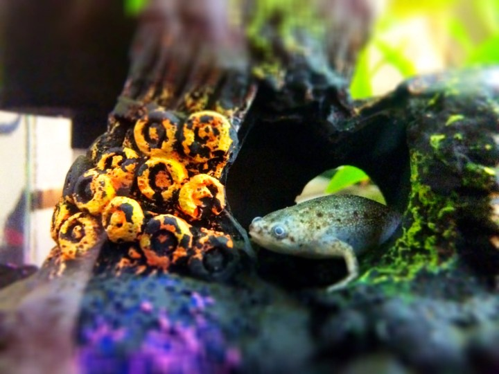 an african dwarf frog lays in favorite aquarium decoration