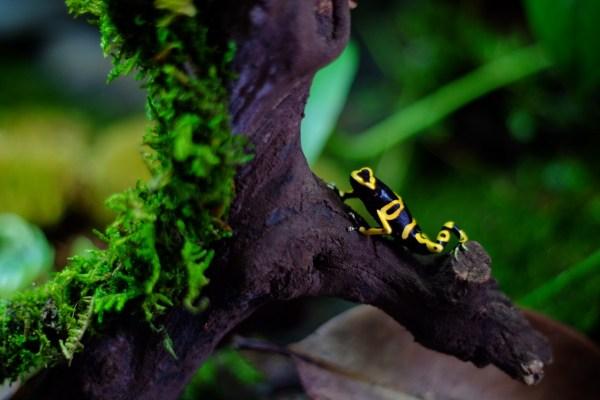 A Dendrobates Leucomelas climbs on a branch in a vivarium