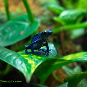 Perched Blue Azureus Poison Dart Frog on a pothos plant