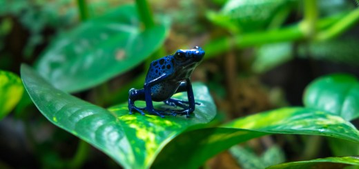 Perched Blue Azureus Poison Dart Frog on a pothos plant