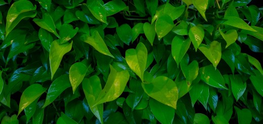Living Pothos Wall