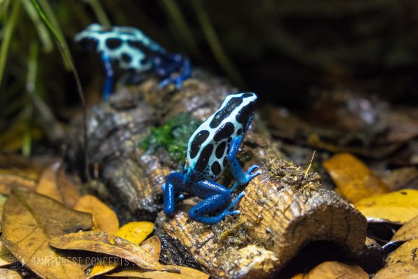 "A few dendrobates tinctorius ""oyapock"" sit on some cork bark and leaf litter in their vivarium"
