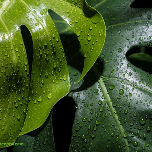 A few split leaf philodendron leaves after the rain.