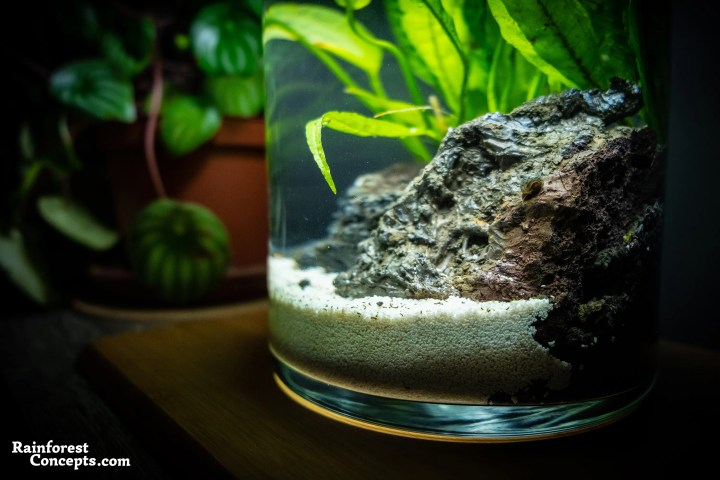 A blue leopard ramshorn snail climbs some volcanic rock in this nano planted tank