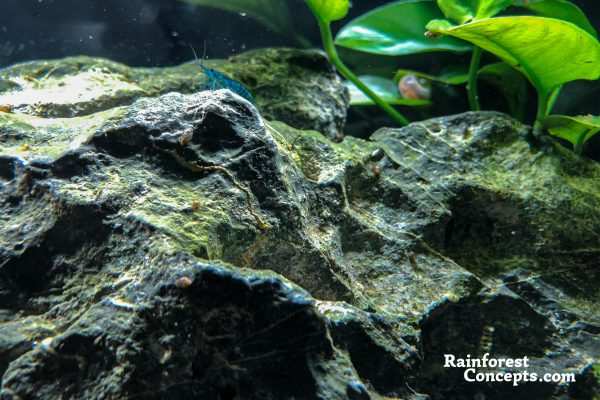 A blue velvet Neocaridina shrimp climbs to the top of a rock in a freshwater planted tank