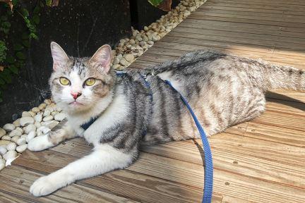 tails & me 尾巴與我,經典尼龍貓咪胸背帶~牙牙練習曬太陽!!