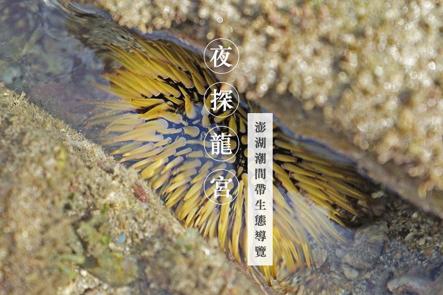 夜探龍宮,澎湖潮間帶生態導覽!大自然就是最好的老師~一窺海底生物、抓石斑、刨石蚵,難忘的探秘體驗!