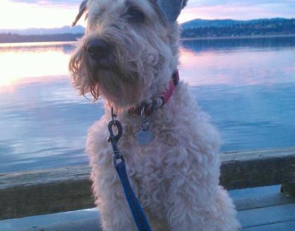 Rainier Veterinary Hospital Dog of the Month, January 2017: Chelsea