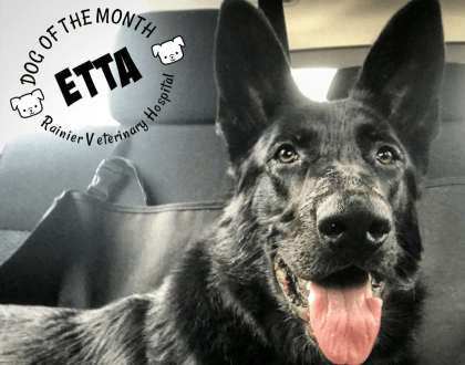 Rainier Veterinary Hospital Dog of the Month, November 2017: Etta