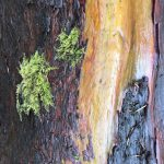 Madrone4