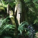 Miller Peninsula Stump