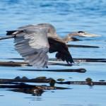 8. Great Blue Heron