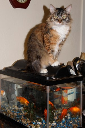 I asked Lulu if I may take her photo for my story and she sat up and posed unlike the other two cats.  She is a proud cat which is maybe why she didn't want me working on her.  I do believe she took the Reiki she wanted and in the way she wanted, on top of the fish tank.  LOL