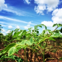 Young moringa plant