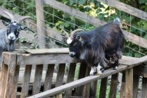 Balancing goat