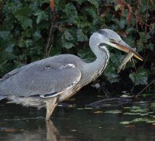 Grey Heron - catching fish