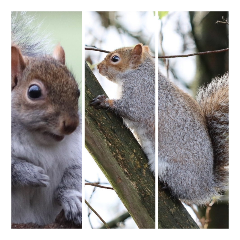 Grey Squirrels – a common sight some pictures and facts.