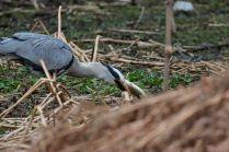 Hungry heron