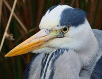 Elegant heron