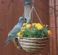 Garden birds (18)