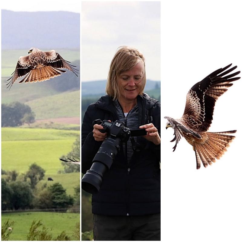 Red Kites feeding station at Bellymack Hill Farm Scotland