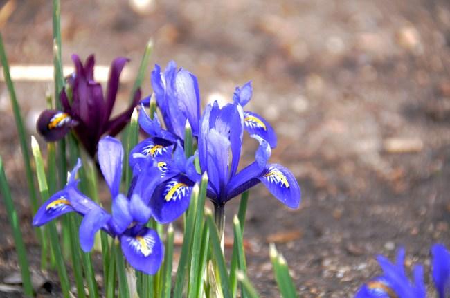 First Iris