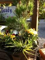Pretty Pine in Pot