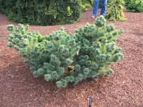 Kinpo Pine