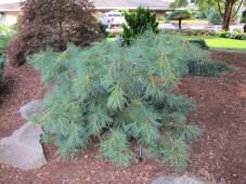 Stonybrook Pine