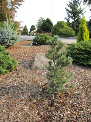 Cortland Rose Pine
