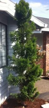 Taxodium 'Peve Minaret'
