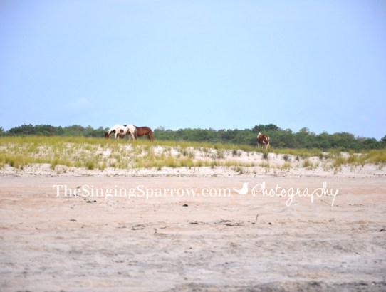 Wild Horses - Assateague Island National Seashore