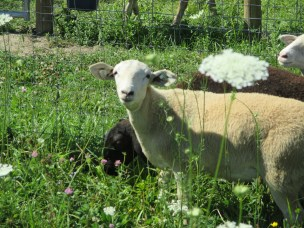 Tyra Collette our new lamb.