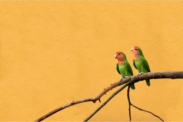 Do lovebirds need to be in pairs