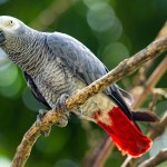 Why Do African Greys Hang Upside Down