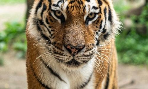 Embracing My Inner Tiger Mom