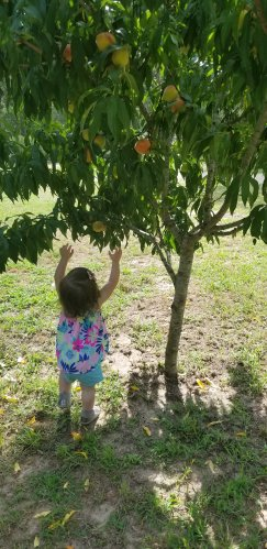 Picking Peaches for the Cobbler