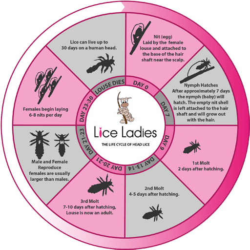 The life cycle of head lice