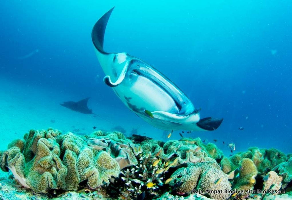 Raja Ampat Accommodation and Extras - Manta rey