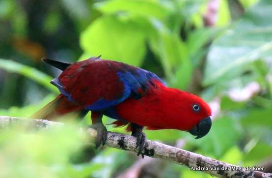 birdwatching raja ampat red bird