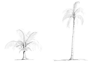 short and tall coconut trees