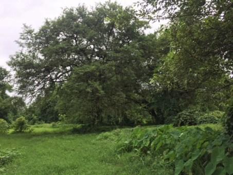 The Tamaarind tree in wada