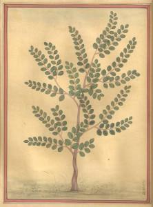 Baby Banyan Tree a000