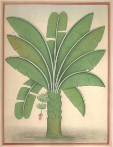 Banana Tree b011