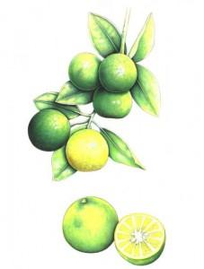 English Botanical Lemon f002