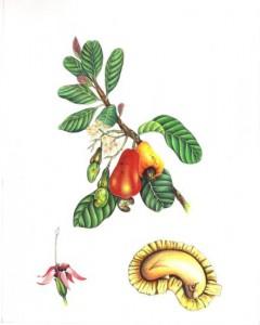 English Botanical Fruits f003