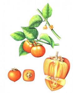 English Botanical Fruits f008