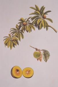 English Botanical Fruits f013